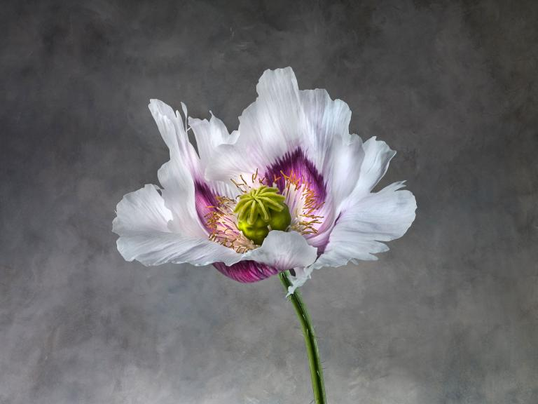 Papaver Somniferum 02B